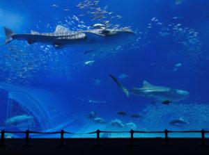 aquarium tank with whale shark